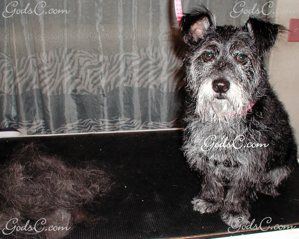 Amos the Terrier Mix after grooming front view