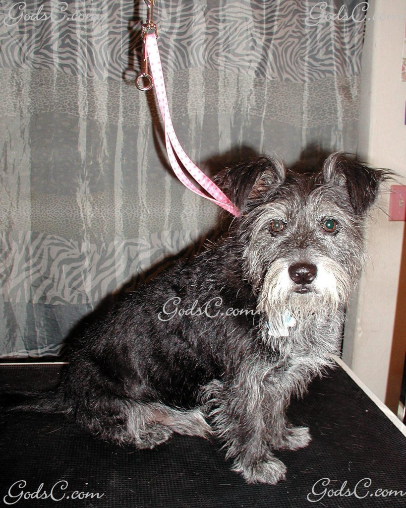 Amos the Terrier Mix before grooming front view