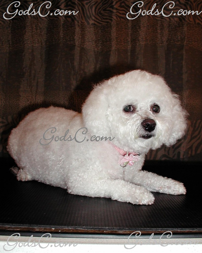 Baby the Bichon Frise after grooming front view