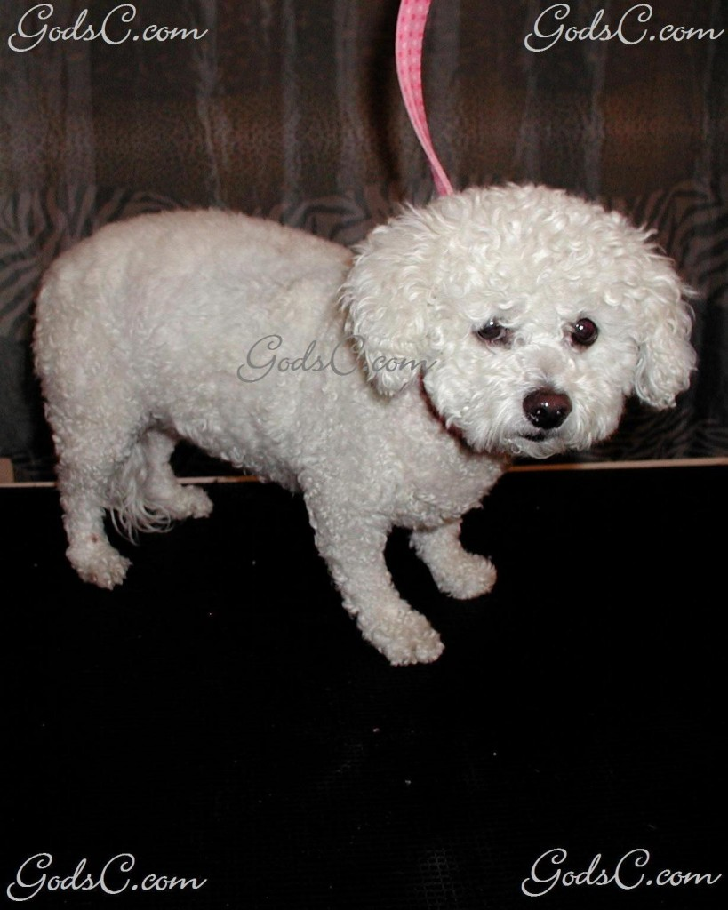 Baby the Bichon Frise before grooming front view