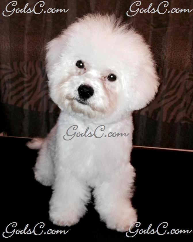 Carly the Bichon Frise after grooming front view
