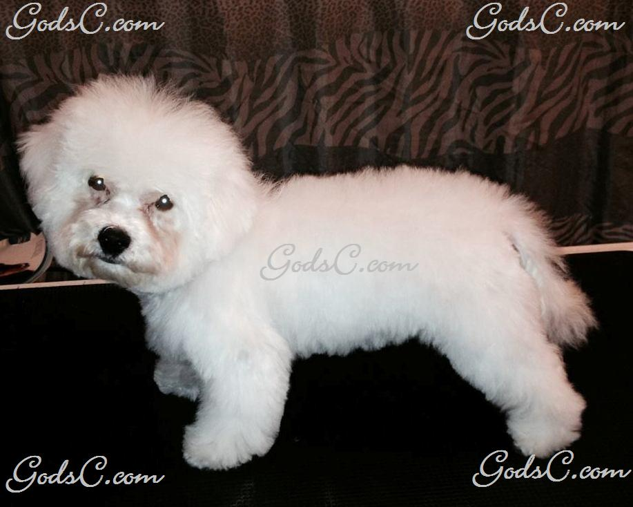 Carly the Bichon Frise after grooming left side view