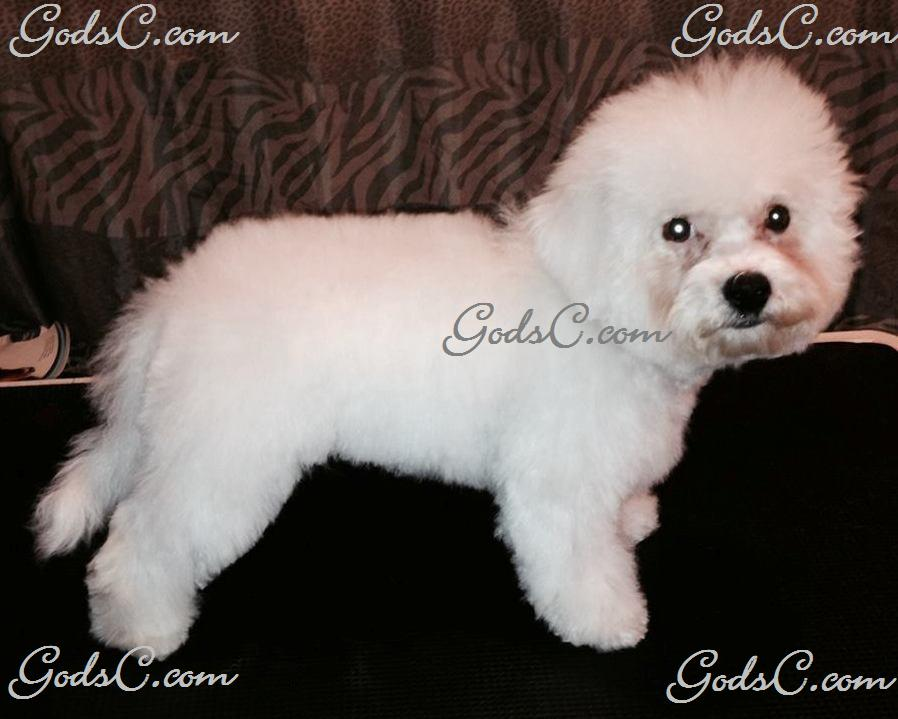 Carly the Bichon Frise after grooming right side view