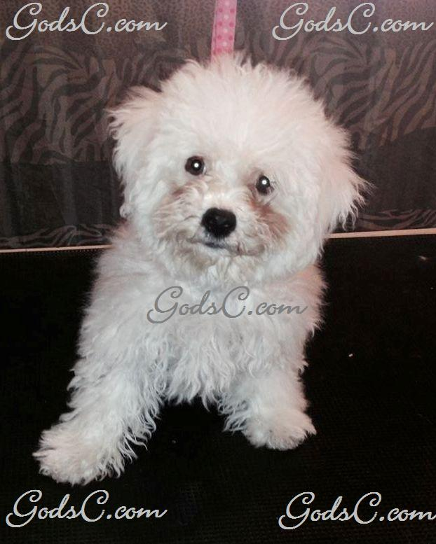 Carly the Bichon Frise before grooming front view