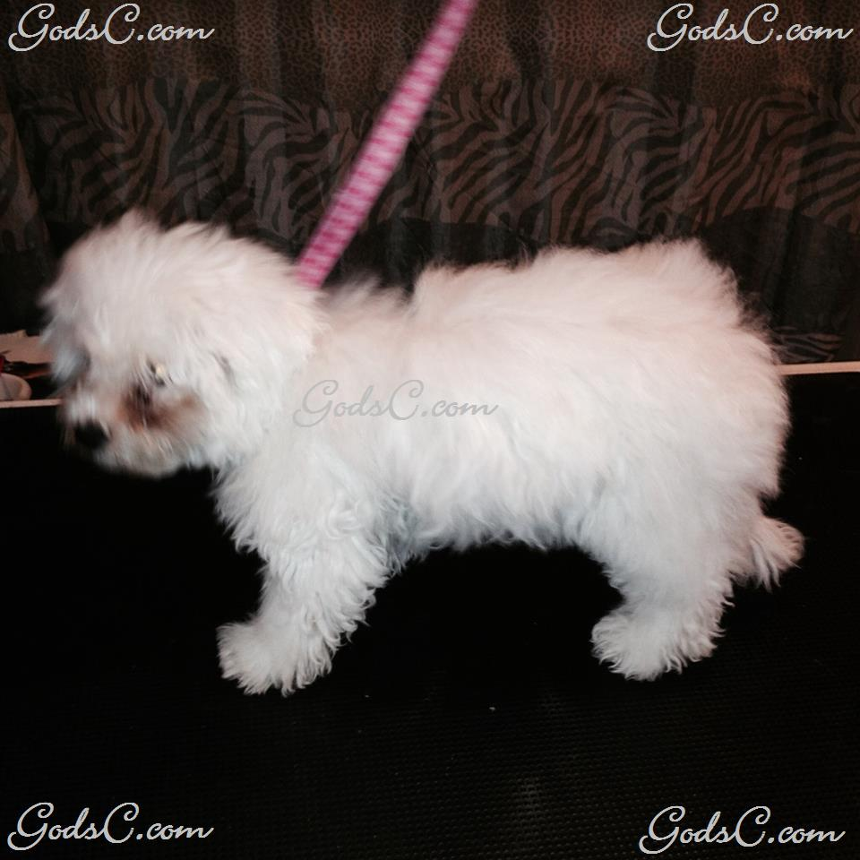 Carly the Bichon Frise before grooming left side view