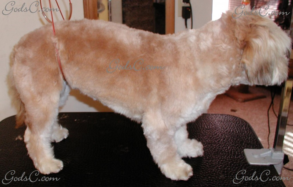 Cece the Terrier Mix after grooming right side view