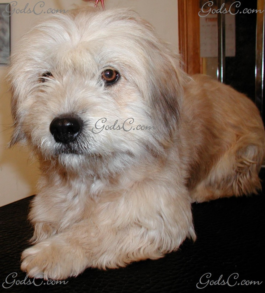 Cece the Terrier Mix before grooming front view