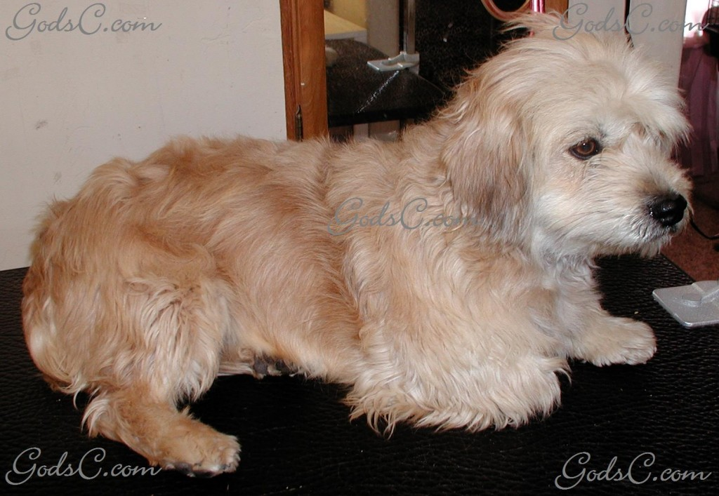 Cece the Terrier Mix before grooming right side view