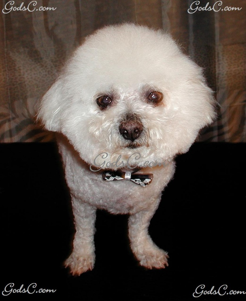 Charlie the Bichon Frise after grooming front view