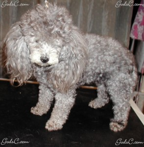 Chloe the Poodle before grooming left side view