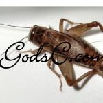 A female Cricket