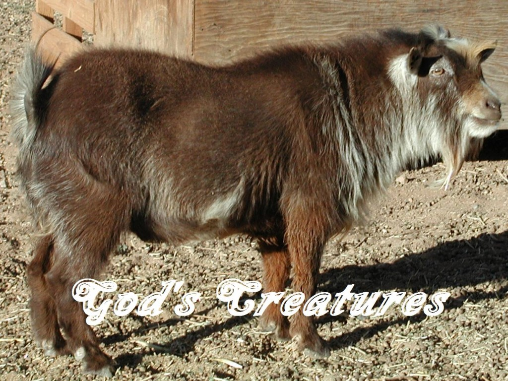 Pygmy Goat Hoof Care http://www.godsc.com/animals-4-sale/