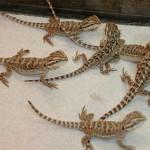 Juvenile Bearded Dragons