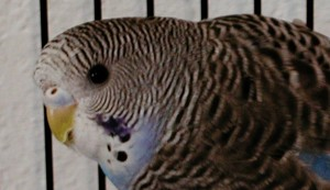 Baby female parakeet