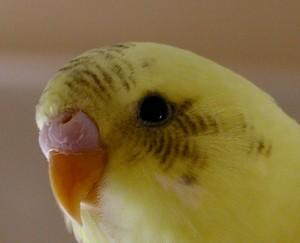 Baby male parakeet