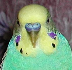 Adult Male Parakeet