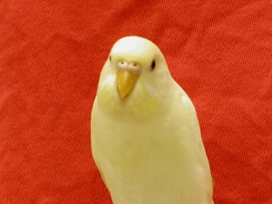 Baby Creamino Parakeet Yellow Parakeet With Red Eyes