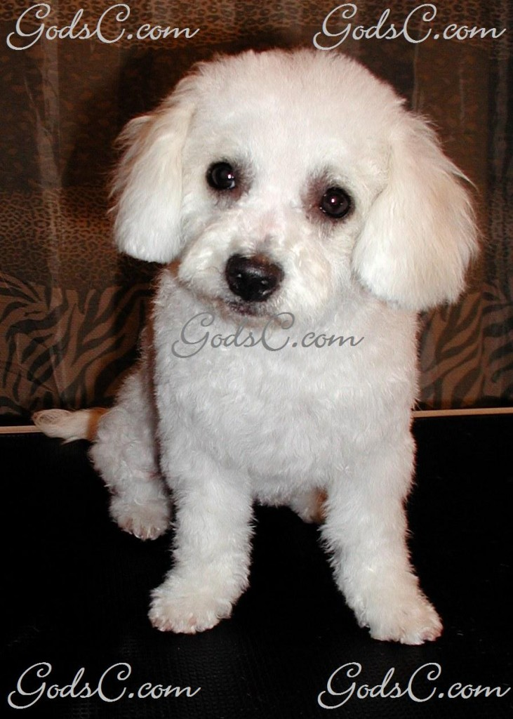 Duchess the Bichon Frise after grooming front view