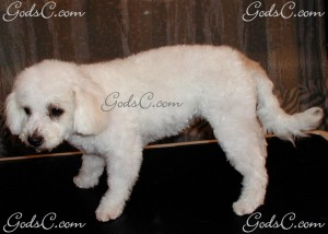 Duchess the Bichon Frise after grooming left side view