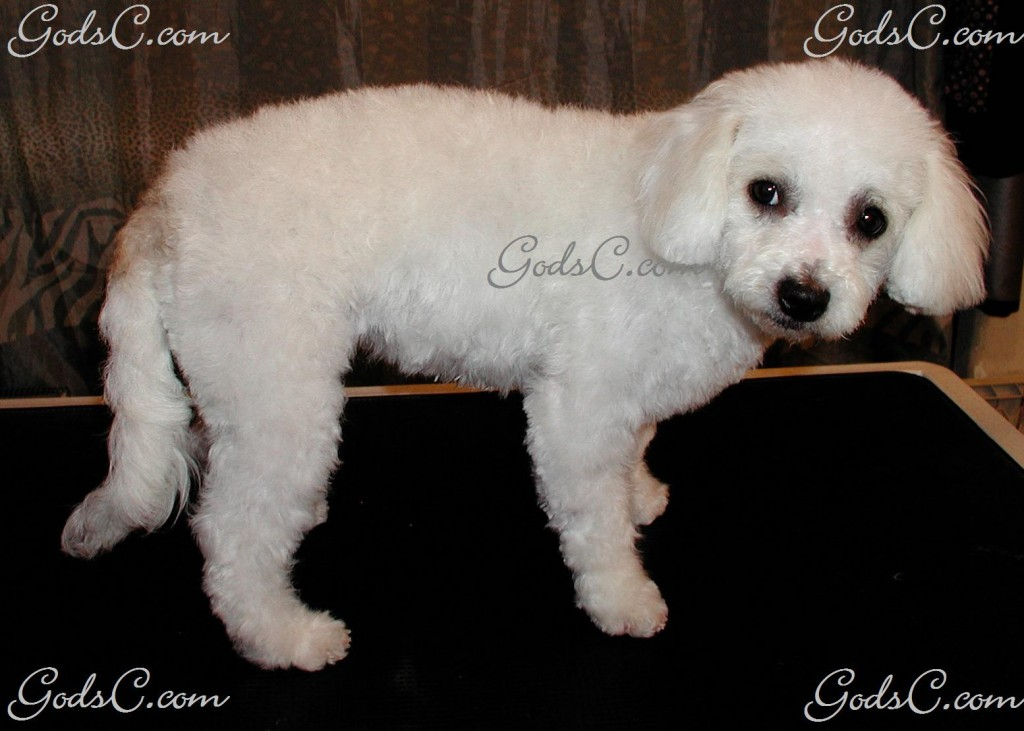Duchess the Bichon Frise after grooming right side view