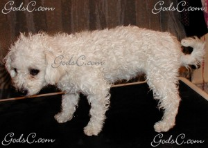 Duchess the Bichon Frise before grooming left side view