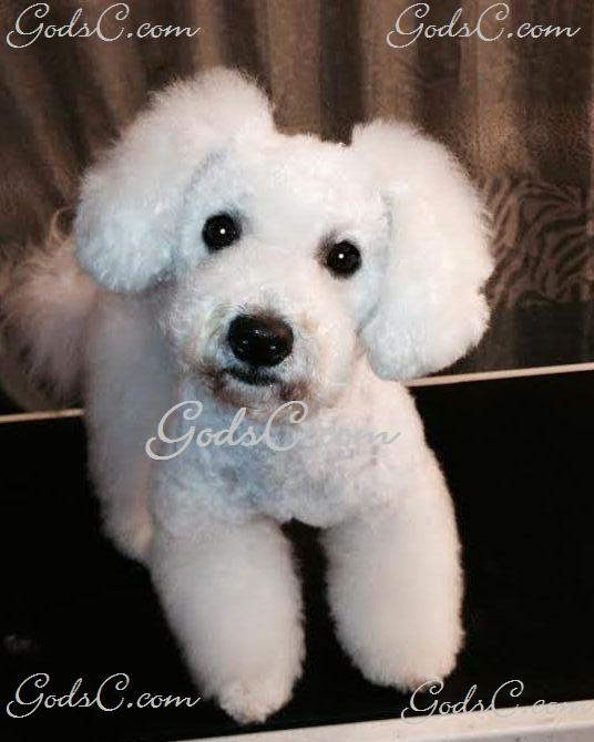 Duke the Bichon Frise after Asian Flare grooming front view p1