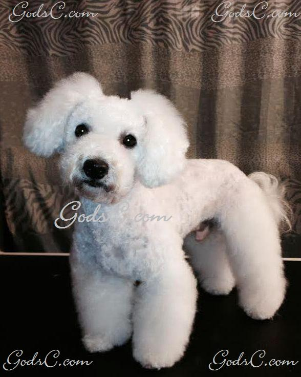 Duke the Bichon Frise after Asian Flare grooming front view p2