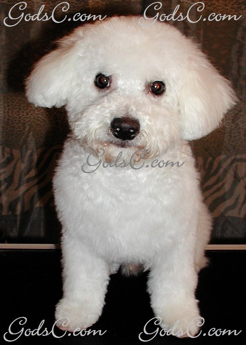Duke the Bichon Frise after grooming front view