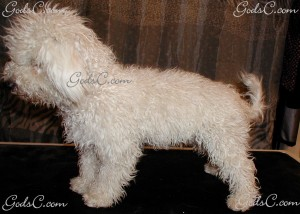 Duke the Bichon Frise before grooming left side view