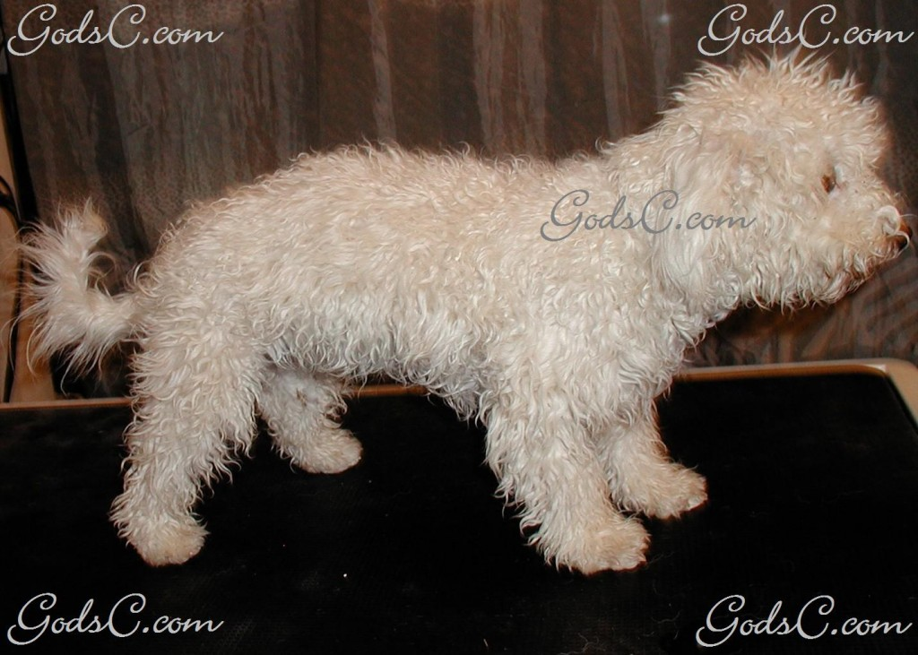 Duke the Bichon Frise before grooming right side view