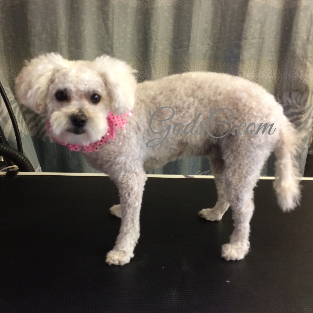 Gemma the Poodle Mix after grooming left side view