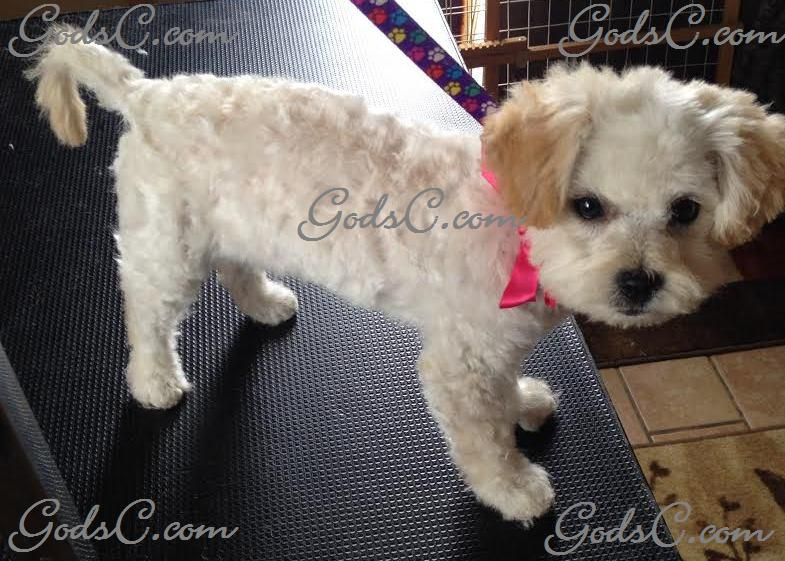 Gemma the Poodle Mix after grooming right side view