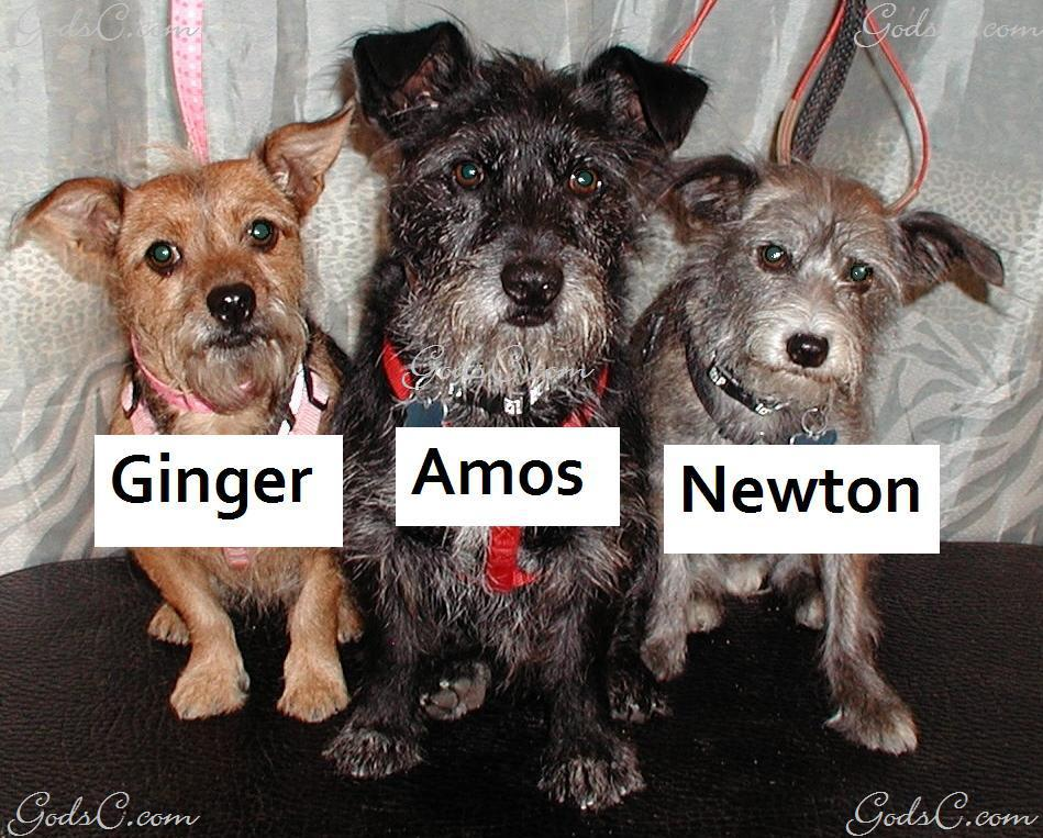 Ginger, Amos, and Newton the Wirehaired Terrier Mixes