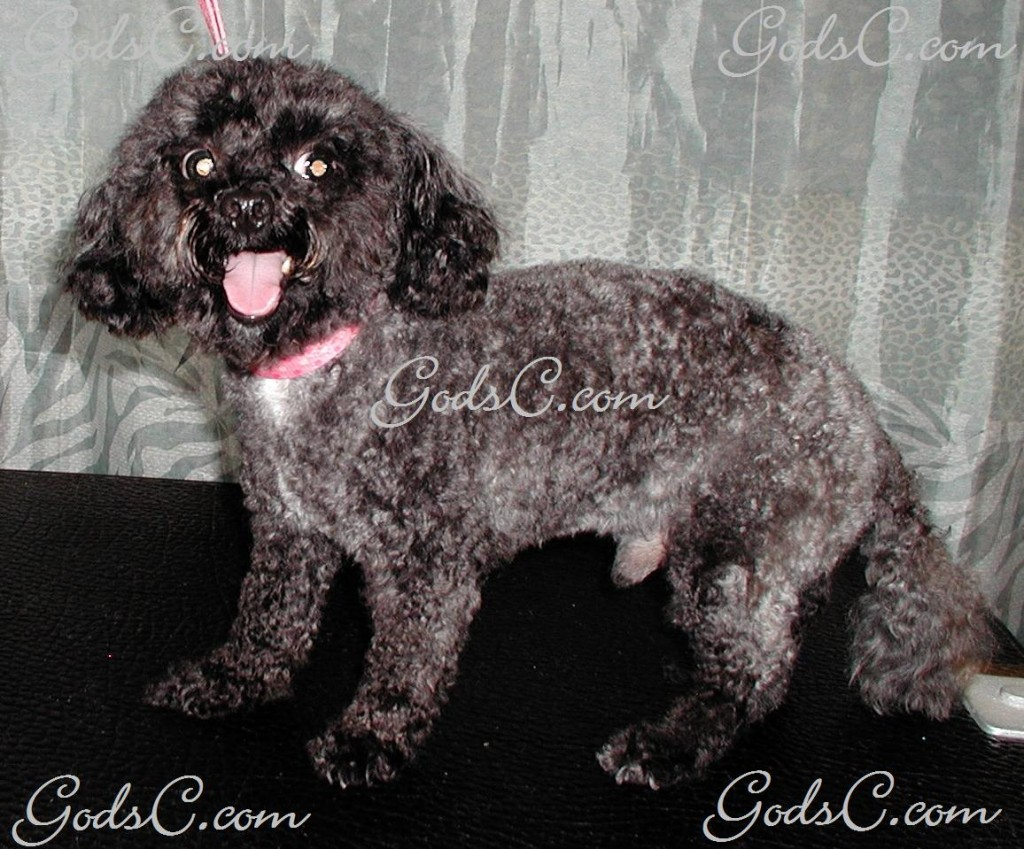 Kiwi the Poodle after grooming left side view