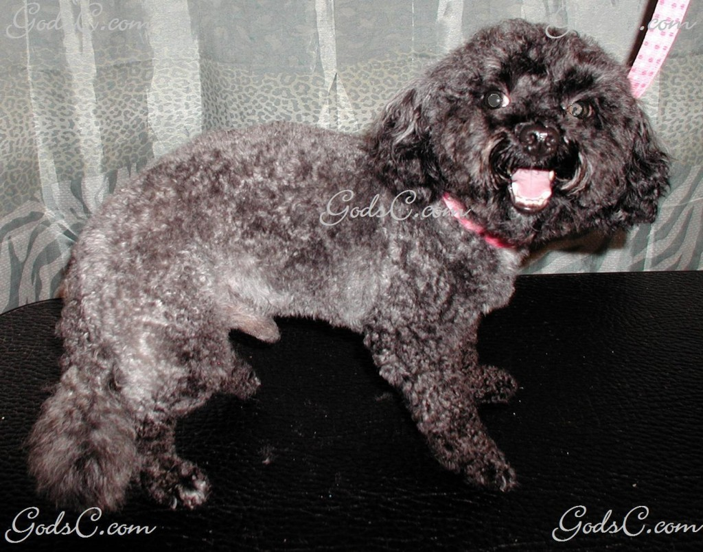 Kiwi the Poodle after grooming right side view