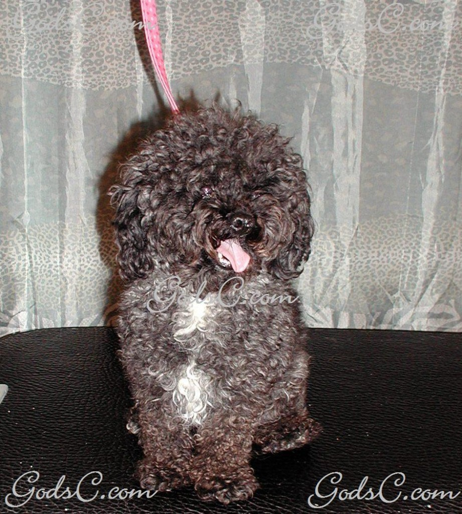 Kiwi the Poodle before grooming front view