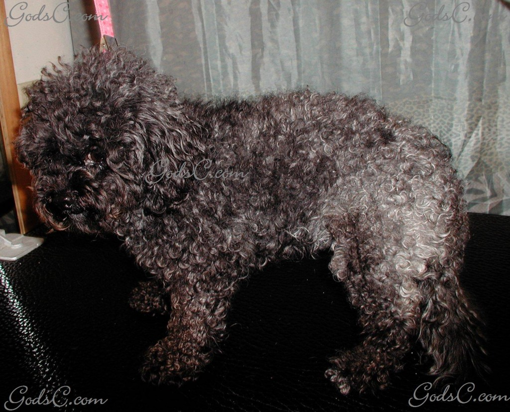 Kiwi the Poodle before grooming left side view