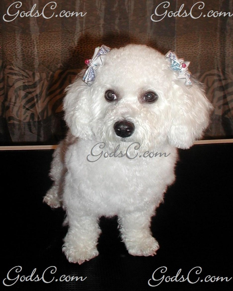 Mimi the Bichon Frise after grooming front view