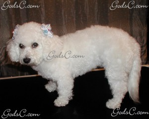 Mimi the Bichon Frise after grooming left side view