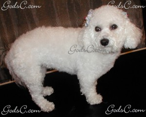 Mimi the Bichon Frise after grooming right side view