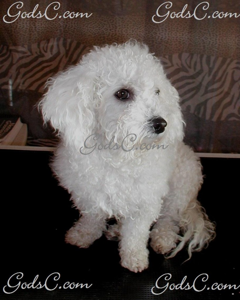 Mimi the Bichon Frise before grooming front view