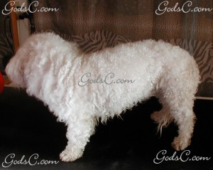 Mimi the Bichon Frise before grooming left side view