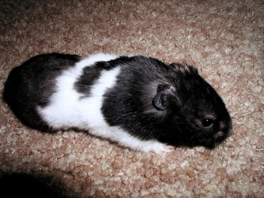 Black Teddy Bear Hamster
