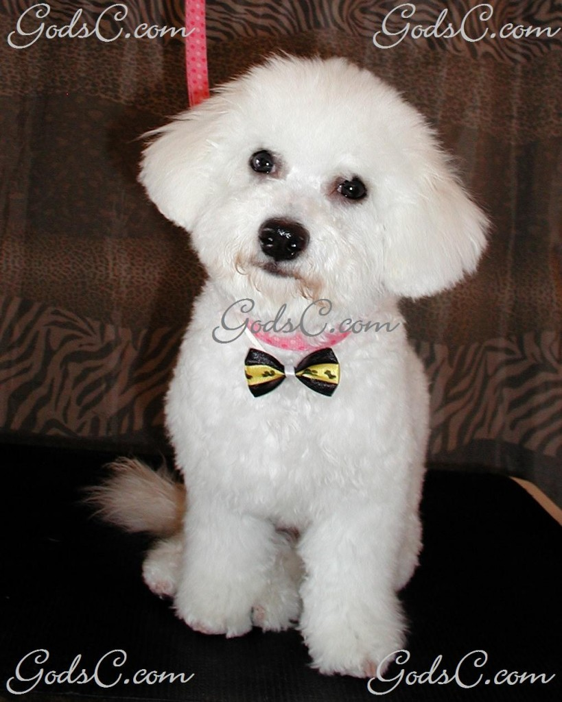 Otis the Bichon Frise after grooming front view