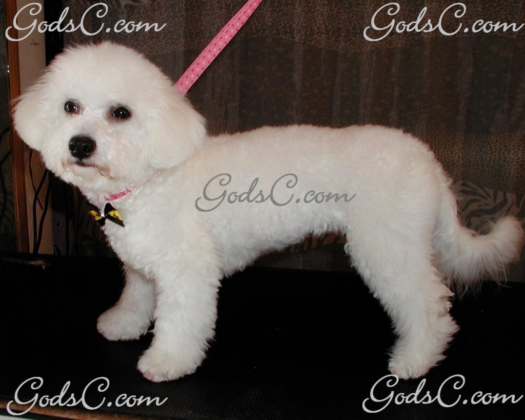 Otis the Bichon Frise after grooming left side view