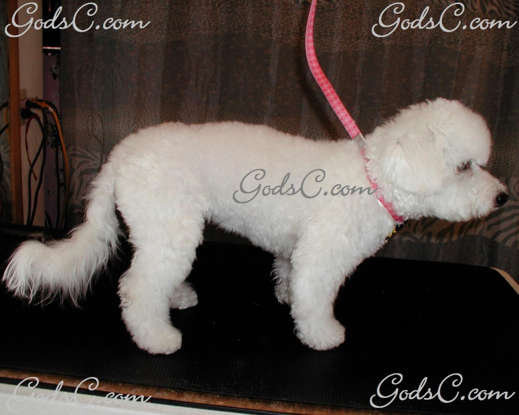 Otis the Bichon Frise after grooming right side view