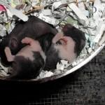 3 Baby Syrian hamsters 1-2 weeks old