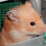 Cream Syrian Hamster