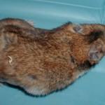 Brindle Syrian Hamster