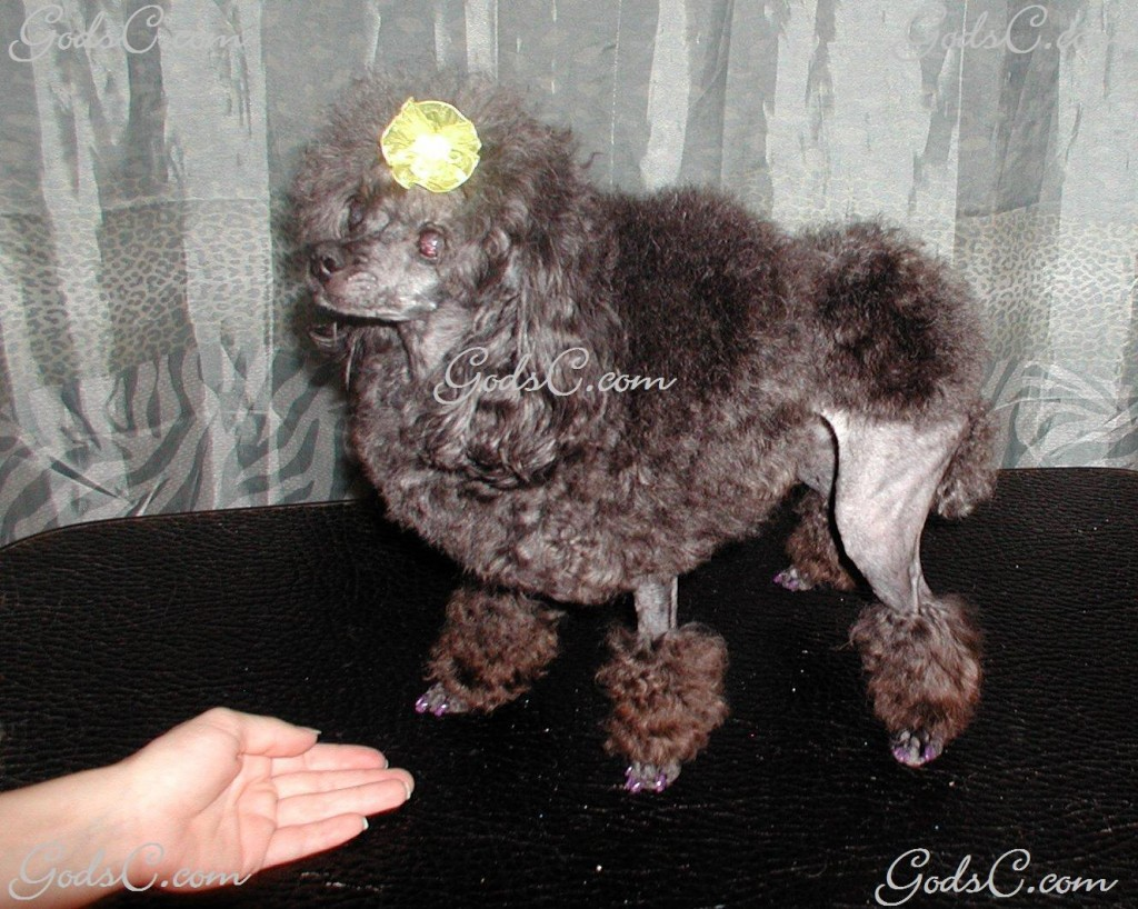 Silky the Toy Poodle after grooming left side view